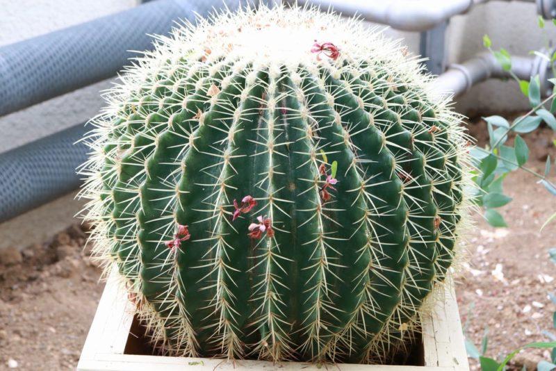 玉サボテンの代表的な品種の金鯱(きんしゃち)