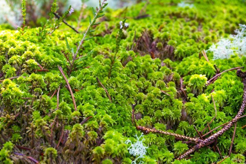 自生するミズゴケ(水苔)の群生