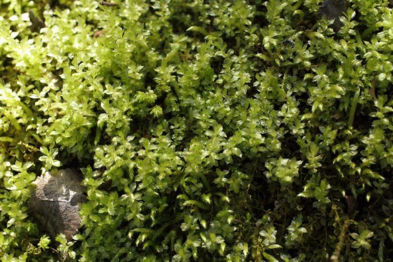 透き通る葉を持つコツボゴケは苔植物の中でも簡単で育てやすい種類