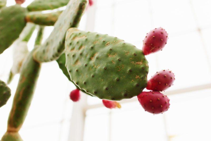 ウチワサボテンの果実。ウチワサボテンの果実はフルーツとされ食用されている