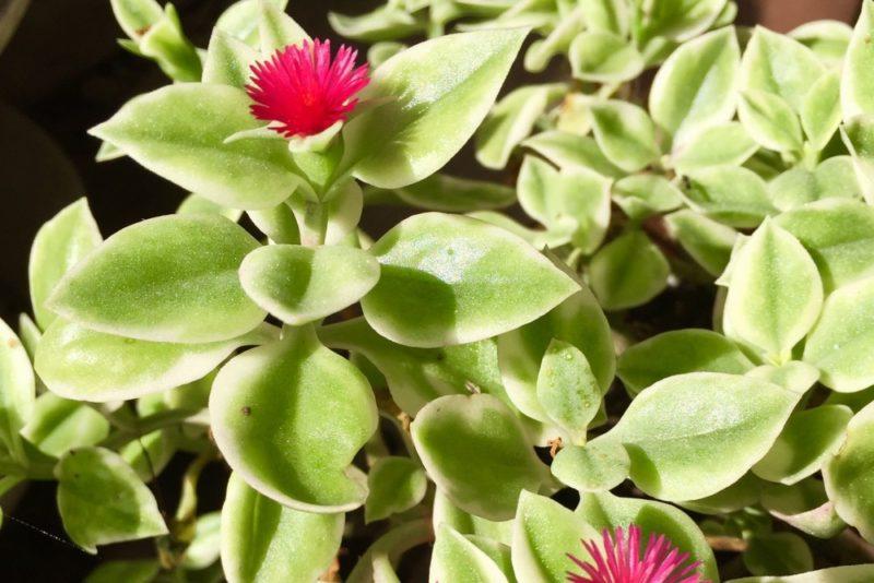 ベビーサンローズとも呼ばれる多肉植物のアプテニア