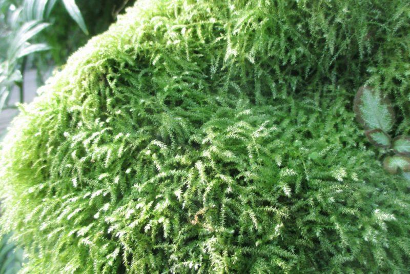 葉を垂らすように密生したコツボゴケ