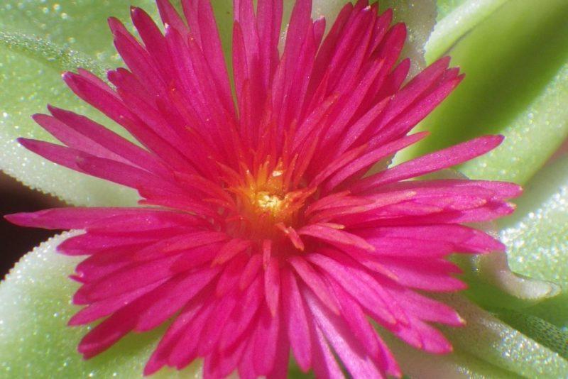ピンク色の花が非常に綺麗な多肉植物のアプテニア(ベビーサンローズ)
