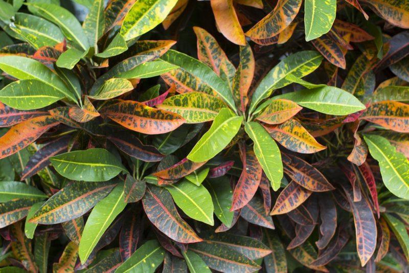 カラフルな葉を生い茂らせたクロトンの木(ヘンヨウボク)