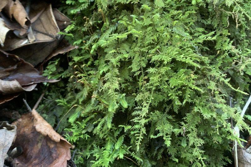 半日陰の環境に群生するシノブゴケ