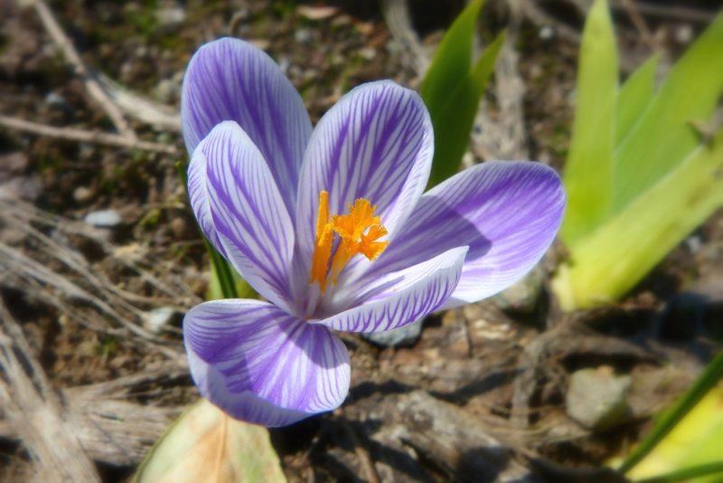 クロッカスの花は春に咲く