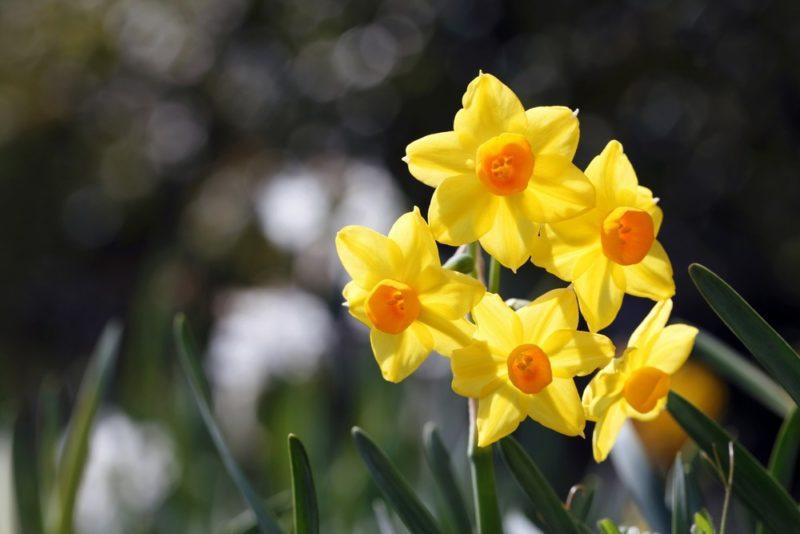 黄色い花を咲かせるスイセン