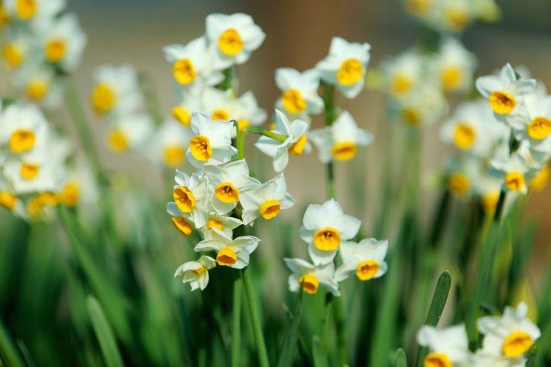 白い小さい花を咲かせるスイセン