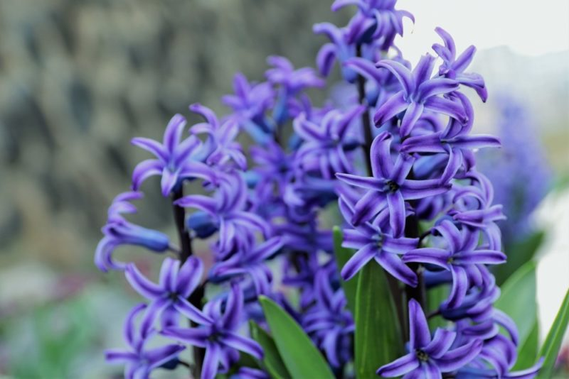 ヒヤシンスの青紫色の花