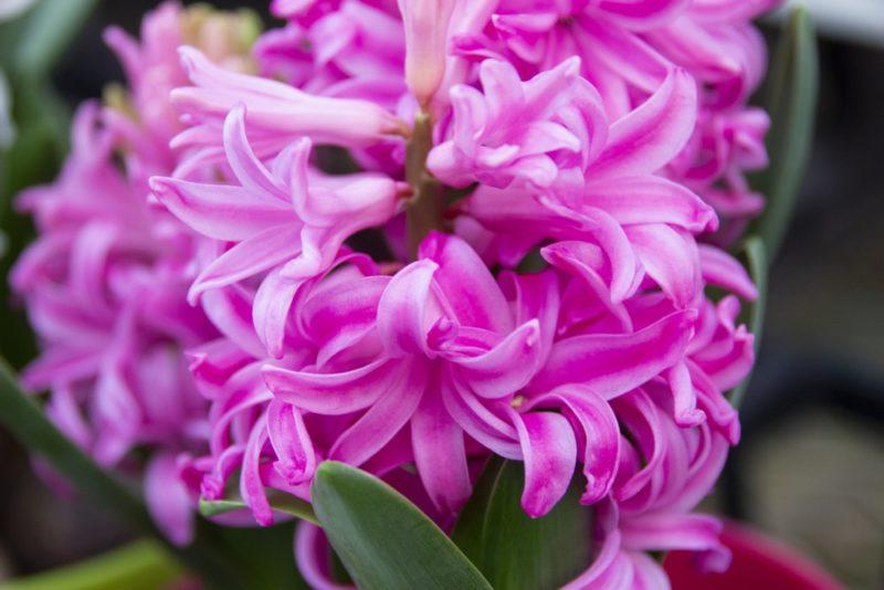 ピンク色の花を咲かせるヒヤシンス