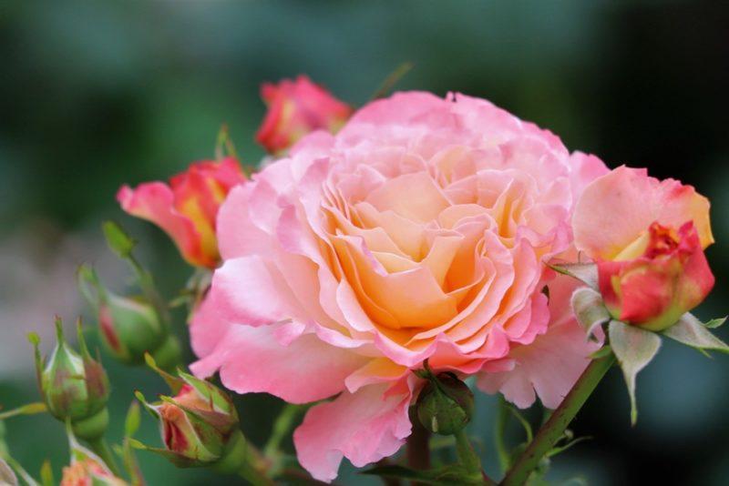 グラデーションが綺麗な薔薇の花