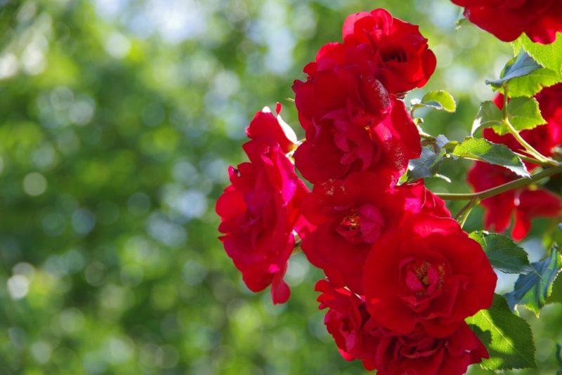 真っ赤な花を咲かせる薔薇