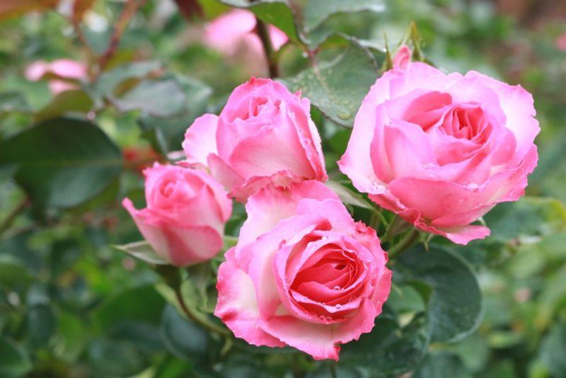ピンク系の薔薇の花