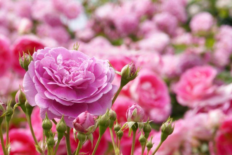 花をいくつも付けて咲き乱れる薔薇の花