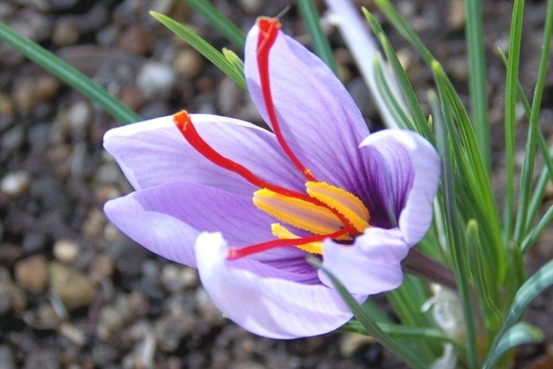 サフランの花は秋に咲く