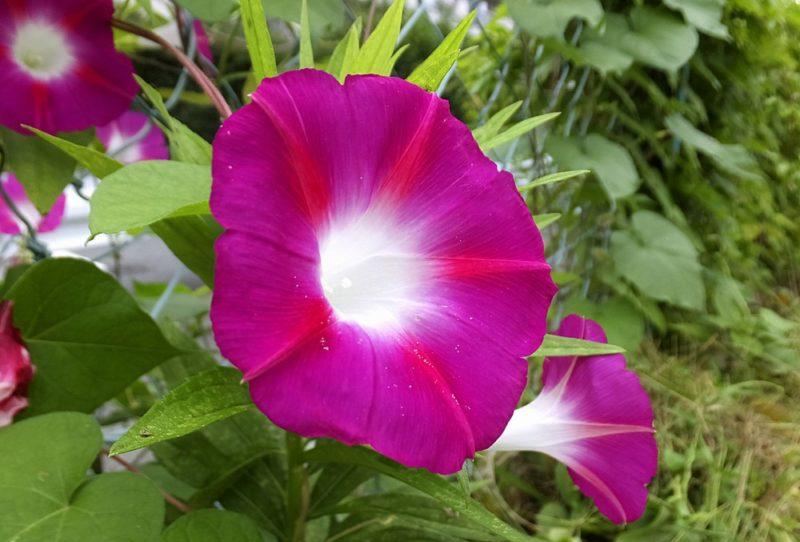 赤紫色の花を咲かせるアサガオ