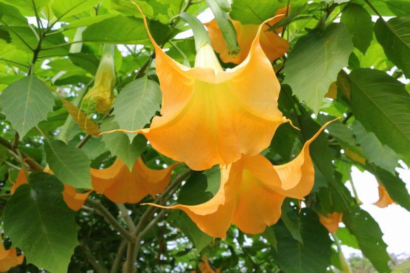 エンジェルストランペットの花は下向きに咲く