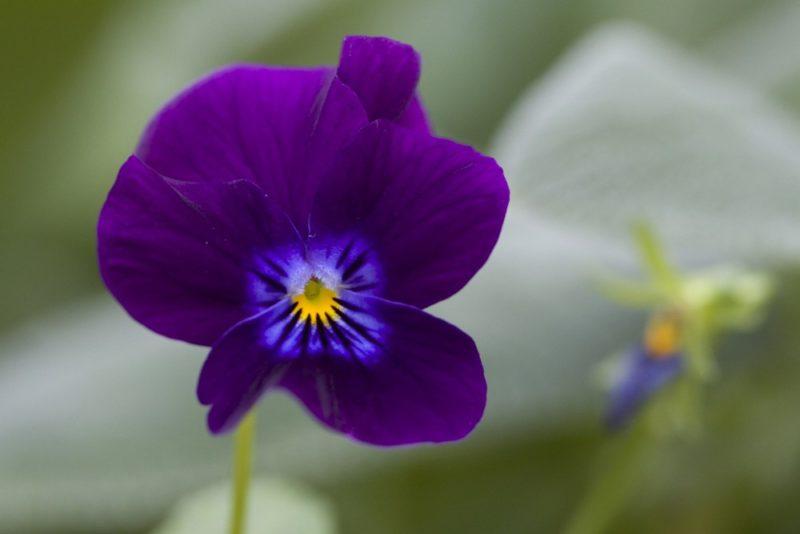 紫色の花を咲かせるパンジー