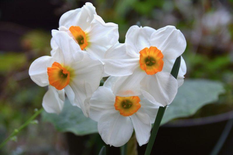 スイセンの白い花