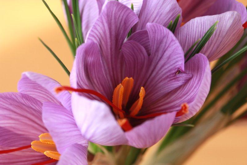 紫色の花を咲かせるサフラン