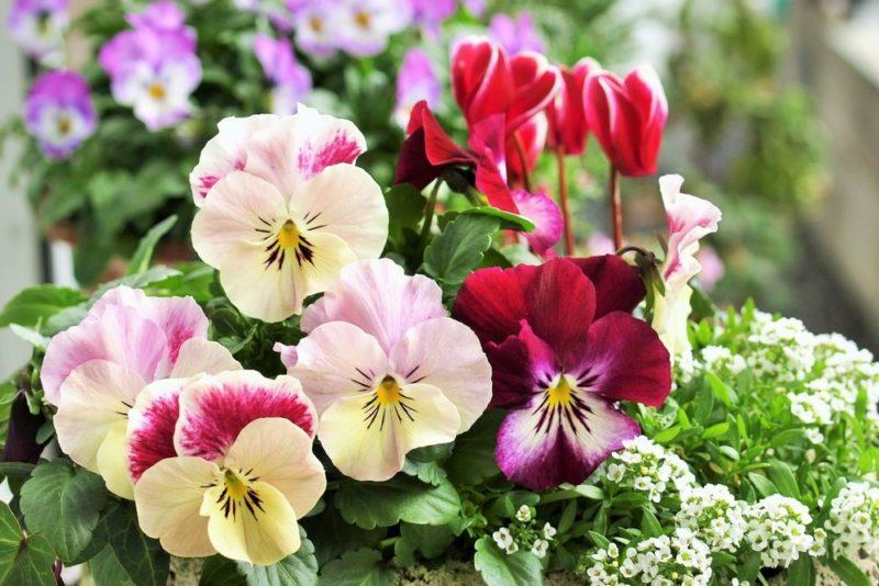 白系と赤系の花を咲かせるパンジー