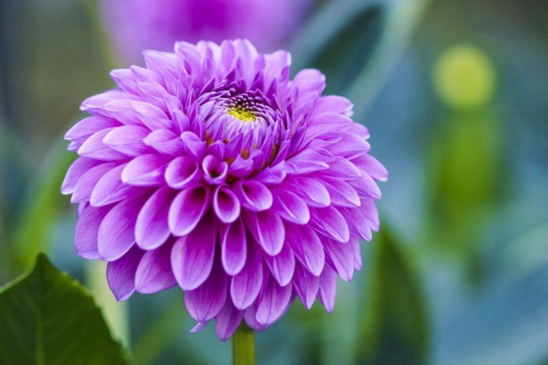 紫色のダリア