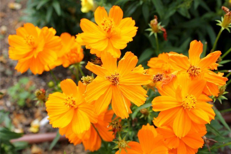 キバナコスモスの花。同じコスモスではあるがオオハルシャギクとは同属別種となり交配は出来ない品種