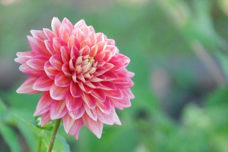 ダリアの花。ピンク色のグラデーションが美しい