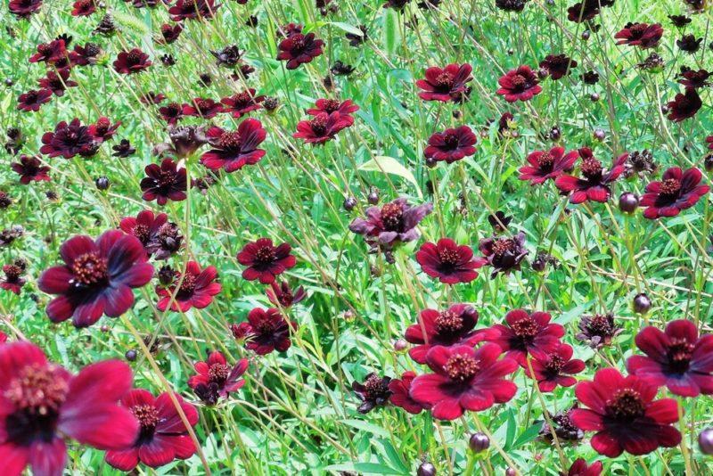 チョコレートコスモスの花。チョコレートのような香りがする事からそう呼ばれる品種