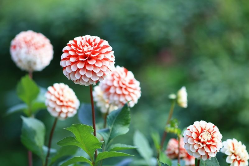 白と赤のグラデーションが美しいダリアの花