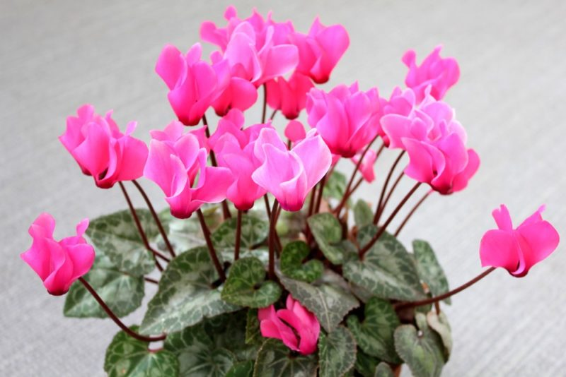 ピンク色の花が綺麗なシクラメン