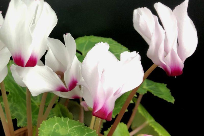 白い花を咲かせるシクラメン