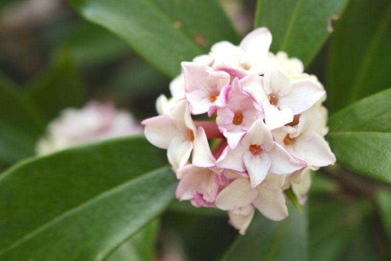 沈丁花の花。とても良い香りがする