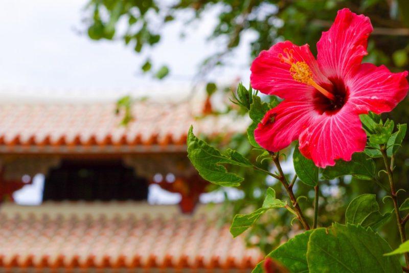 南国のイメージが強いハイビスカスの花