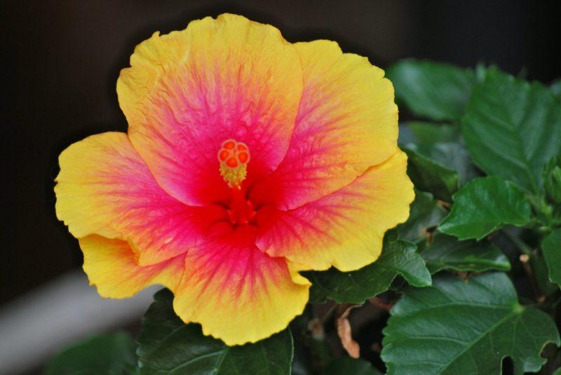 黄色と赤のグラデーションが美しいハイビスカスの花