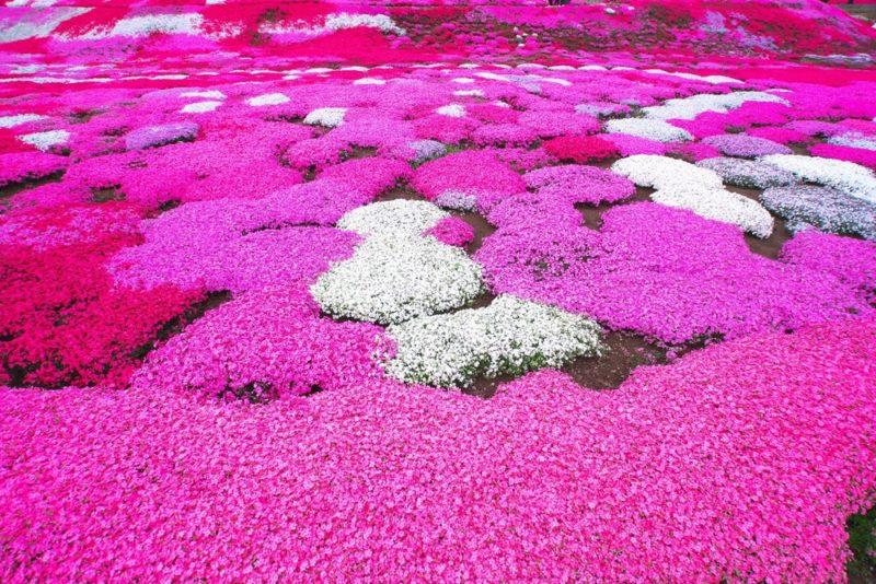 ピンク色の絨毯に庭を彩る芝桜の花