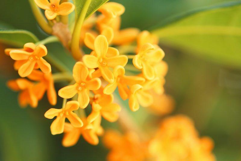 金木犀(キンモクセイ)の花のアップ