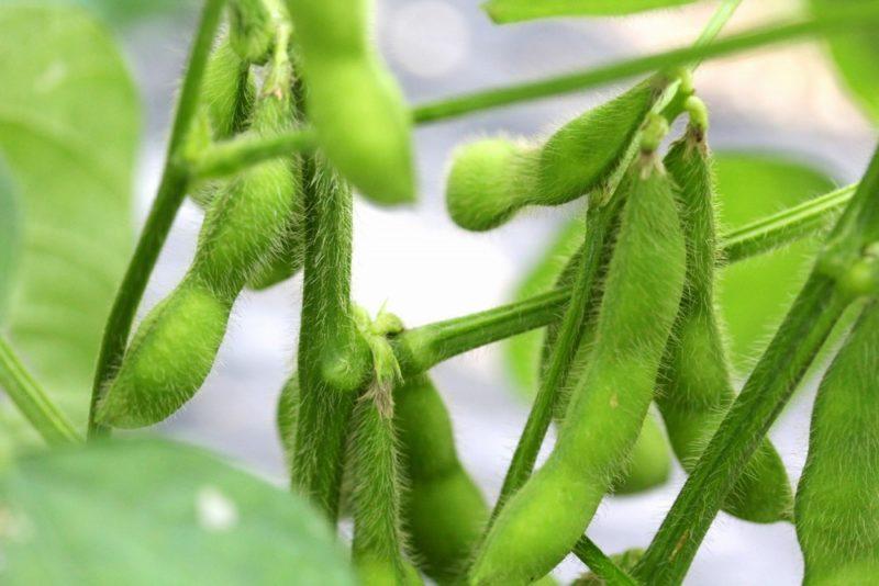 しっかり成長した枝豆の鞘