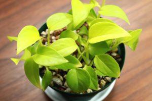 ポトス・ライムコンパクトの若い葉は黄色みが強い