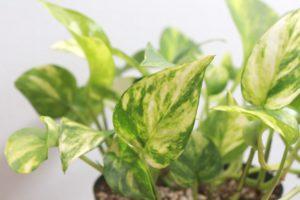 ポトス・ハッピーデーの葉はゴールデンポトスより斑が多く入る