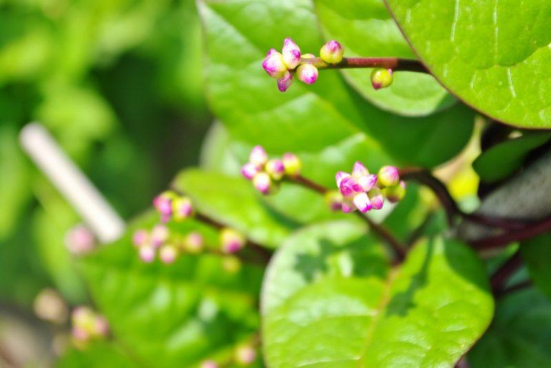 ツルムラサキの花