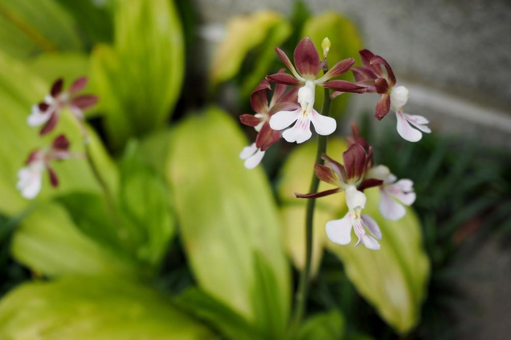 エビネの育て方 | 植物ノート
