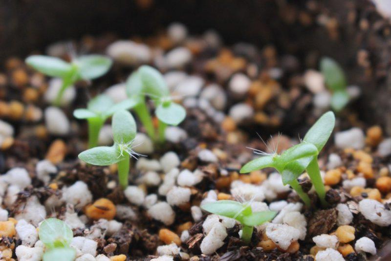 種から発芽したドラゴンフルーツの芽