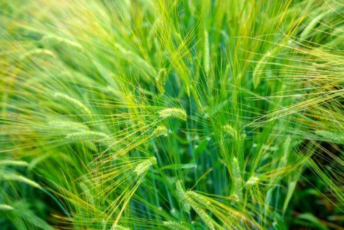 大麦の若芽も猫草として利用される