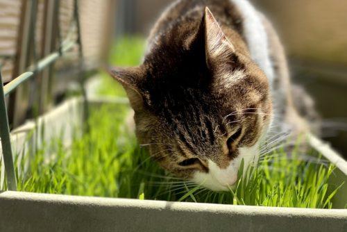猫草の収穫目安