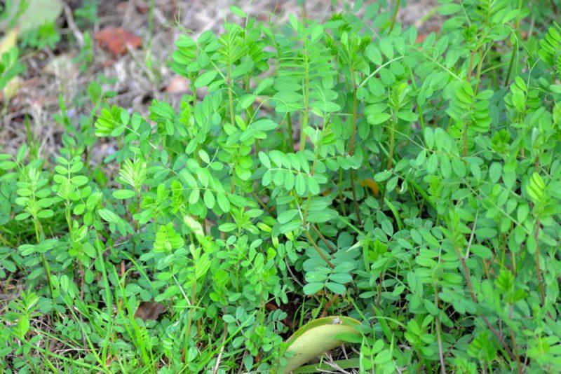 カラスノエンドウの葉。葉は新芽が食用になる
