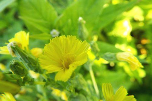サンチュの花