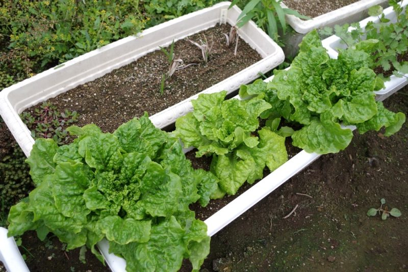 サンチュはプランター栽培も出来る