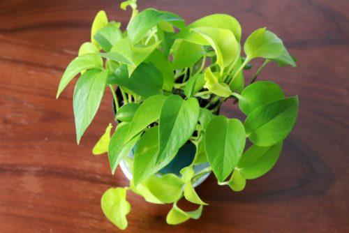 ポトス・ライムコンパクトの葉は鮮やかなライトグリーン