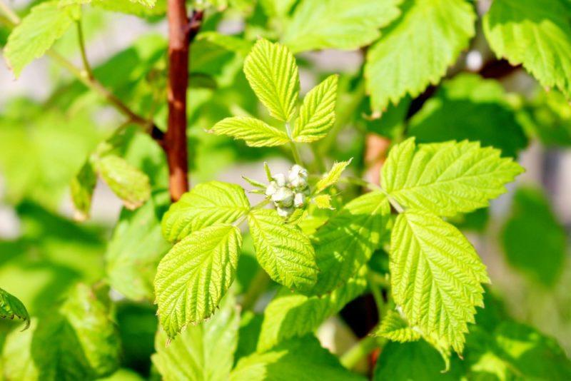 ラズベリーの葉と蕾